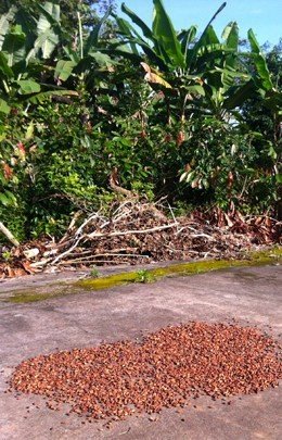 Cacau Beans Drying In The Sun
