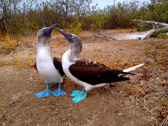 Two Blue-Footed Boobies Touch Beaks