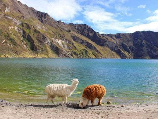 Grazing Llamas on the Quilota Trail, Ecuador