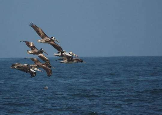 Surf Ilo Peru Pelicans