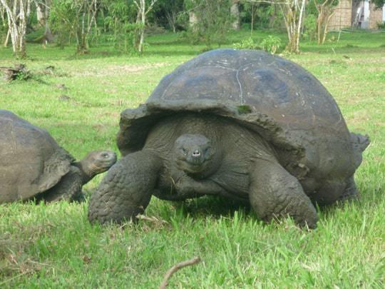Two Giant Tortoises on Galapagos
