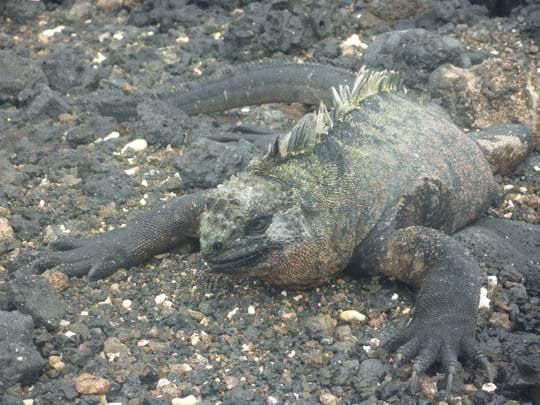 An Iguana on Galapagos