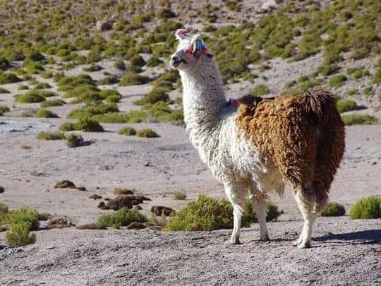A Llama in El Tatio, Chile