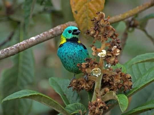 A Colourful Bird Sits On A Branch in Parque Nacional do Itatiaia