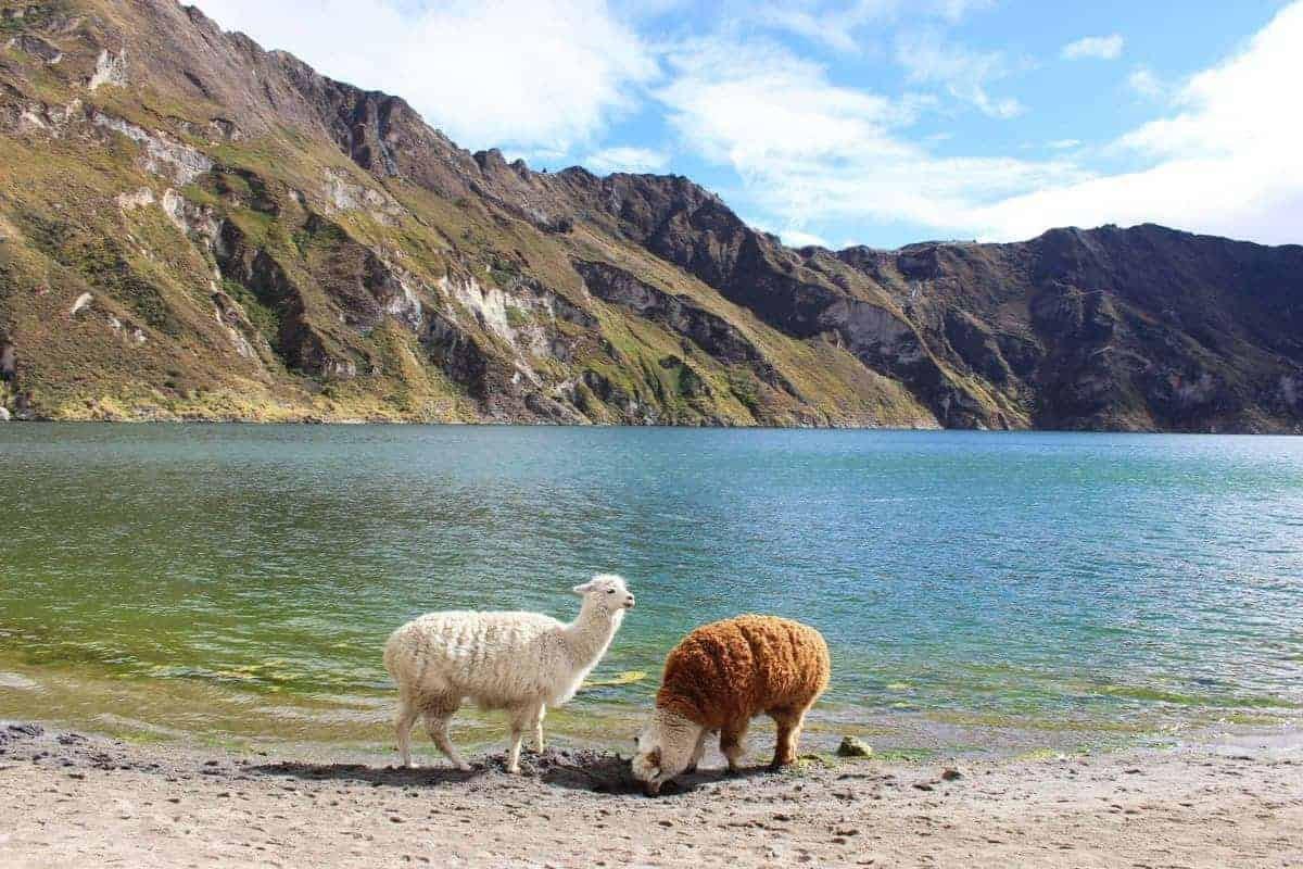 Lamas at the waterside in Latacunga