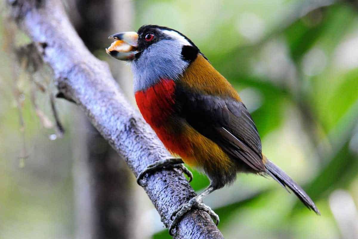 A colourful bird in Mindo, Ecuador