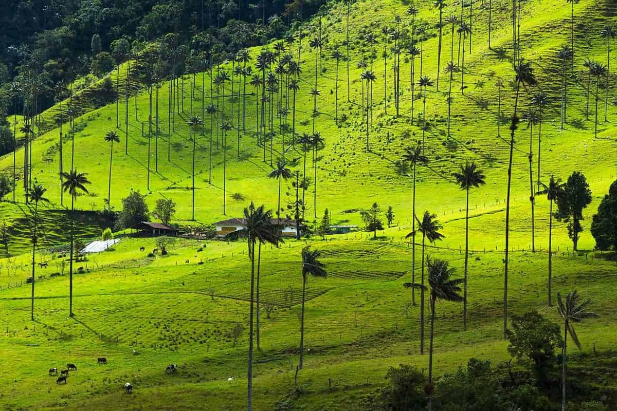 The tallest wax palm trees in the world, Salento Colombia