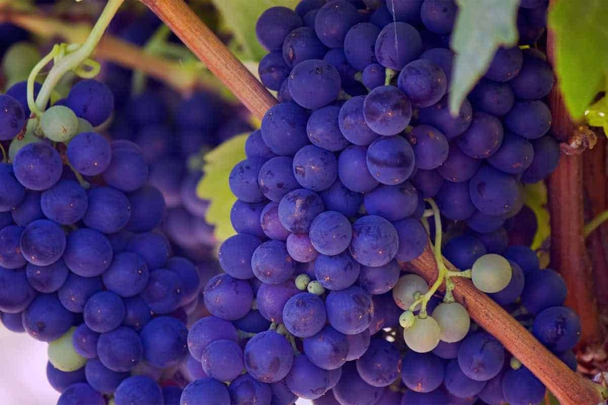 A Bunch Of Grapes On The Vine, Mendoza, Argentina.