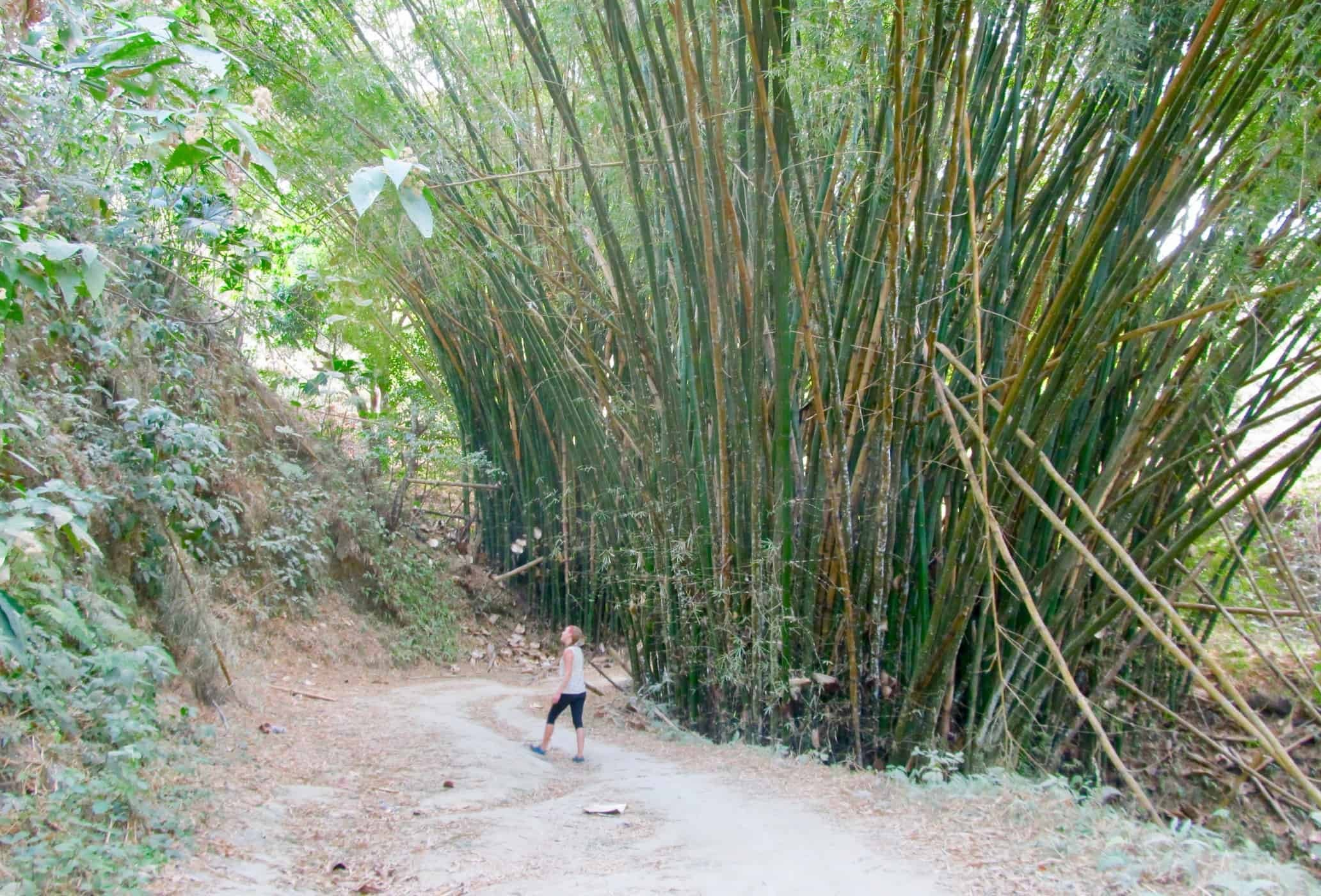 Walking by giant bamboo on the Los Pinos Trek, Minca, Colombia.