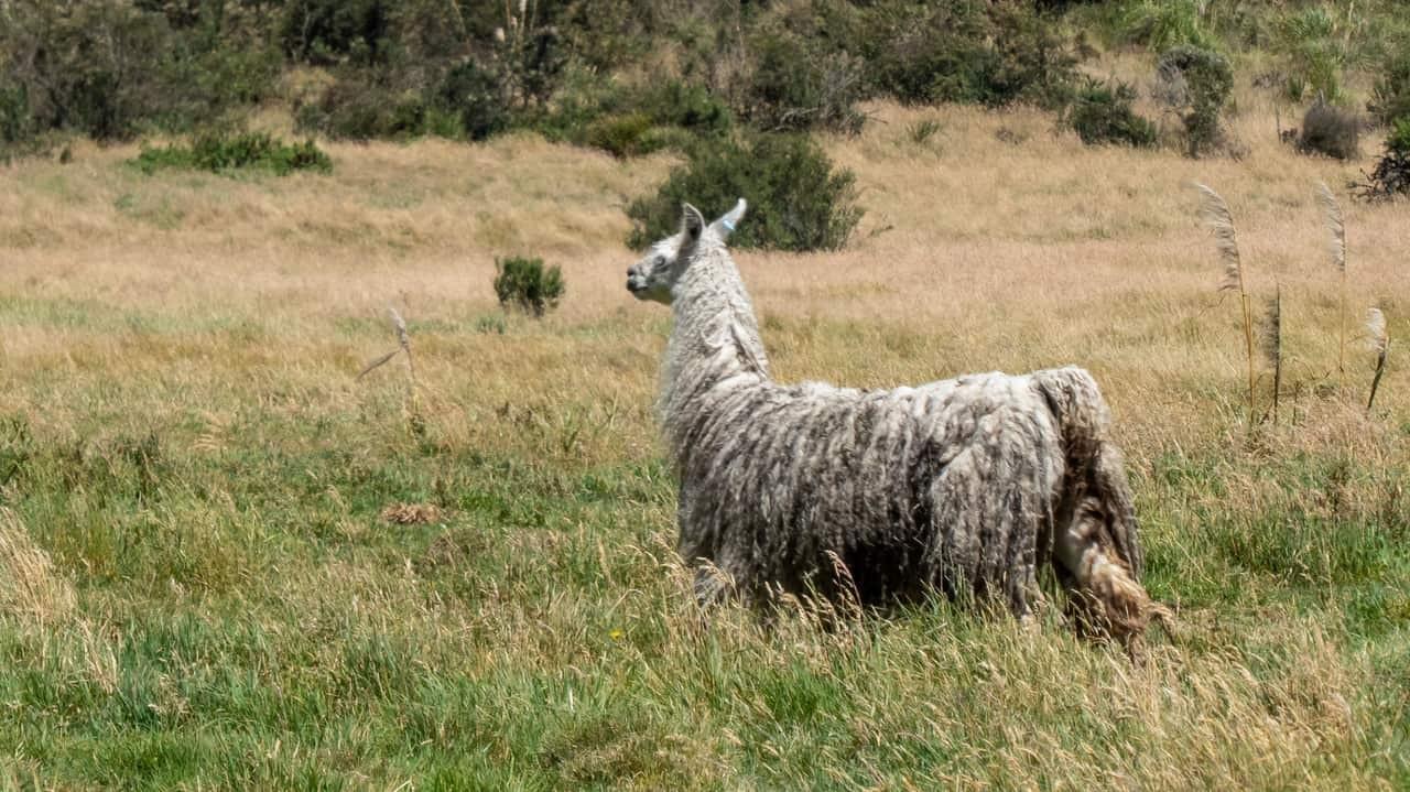 A llama grazing in Cajas National Park, Cuenca, Ecuador