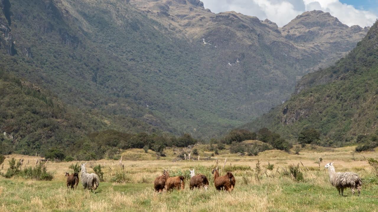Llamas in Cajas National Park, Ecuador