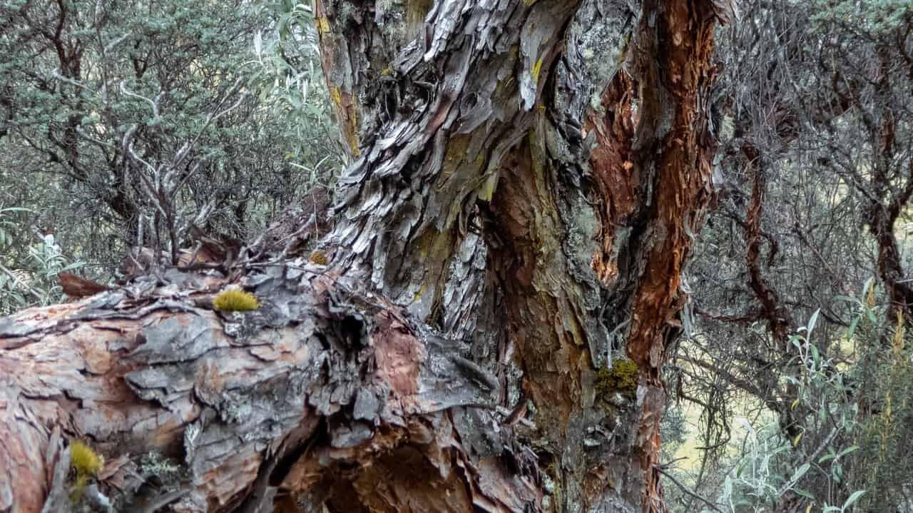 Century-old Polylepis trees in Cajas National Park - Cuenca, Ecuador