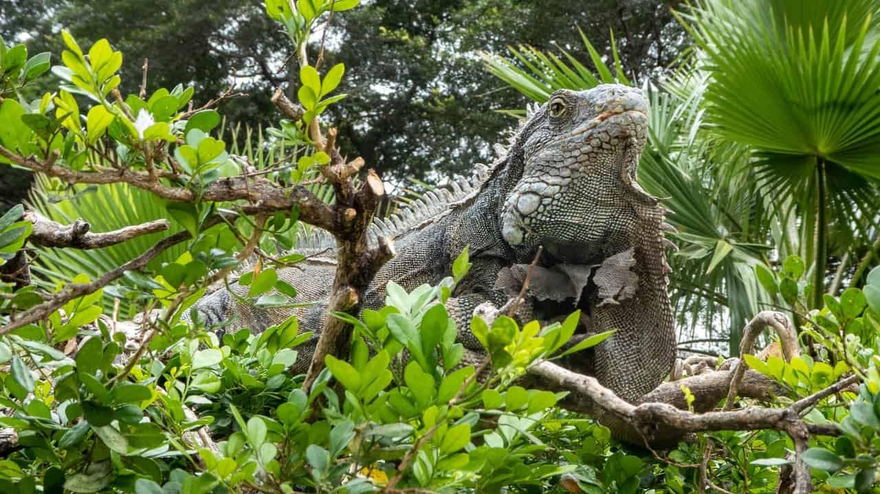 Iguanas roam around the Park in Guayaquil, Ecuador