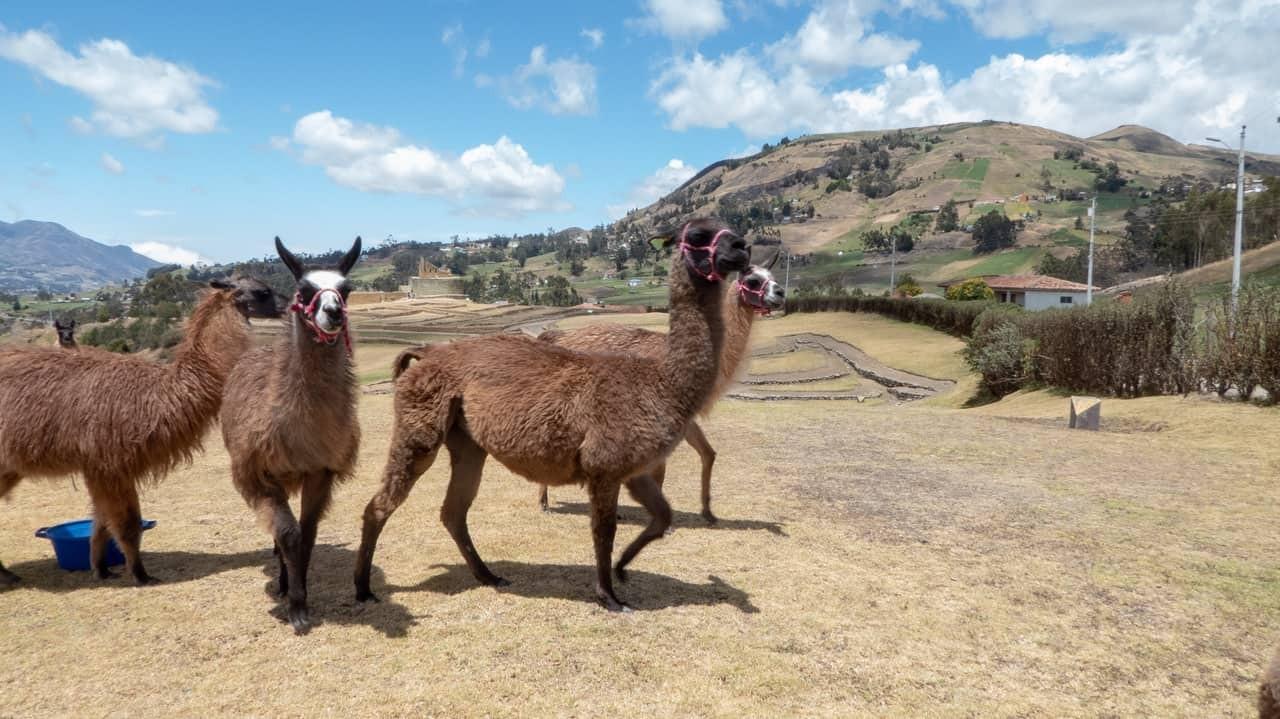 Llamas in Ingapirca, Ecuador