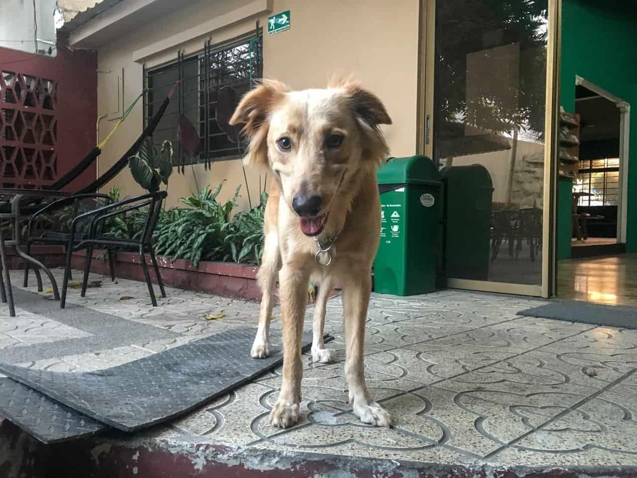 Nacho, the friendly dog at Hostel Nucapacha, Guayaquil, Ecuador