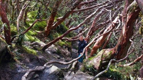 A trekker in the midst of polylepis trees in Cajas National Park Ecuador