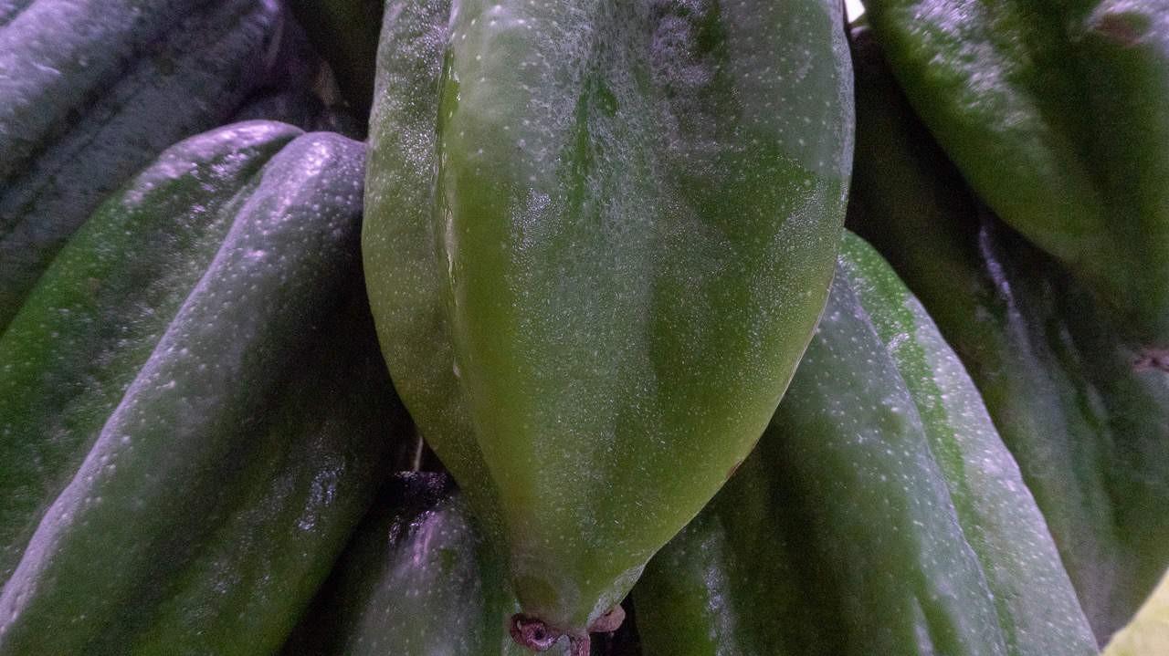 Babaco is a hybrid cultivar between Mountain Papaya and Toronche. Baños, Ecuador