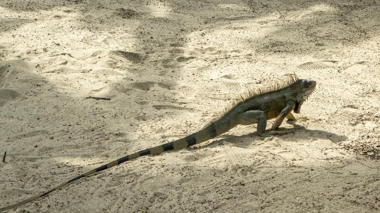 Iguanas freely roaming around Hidden House Montañita, Ecuador.