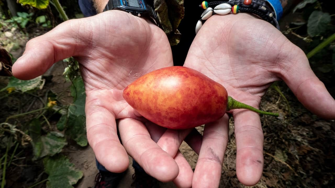 A Pair-Shaped Tomato Held in a Hand