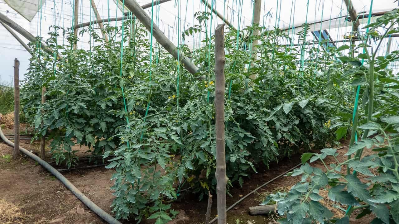 On the farm, they string-train their tomatoes for less foliage and more fruit. Baños, Ecuador