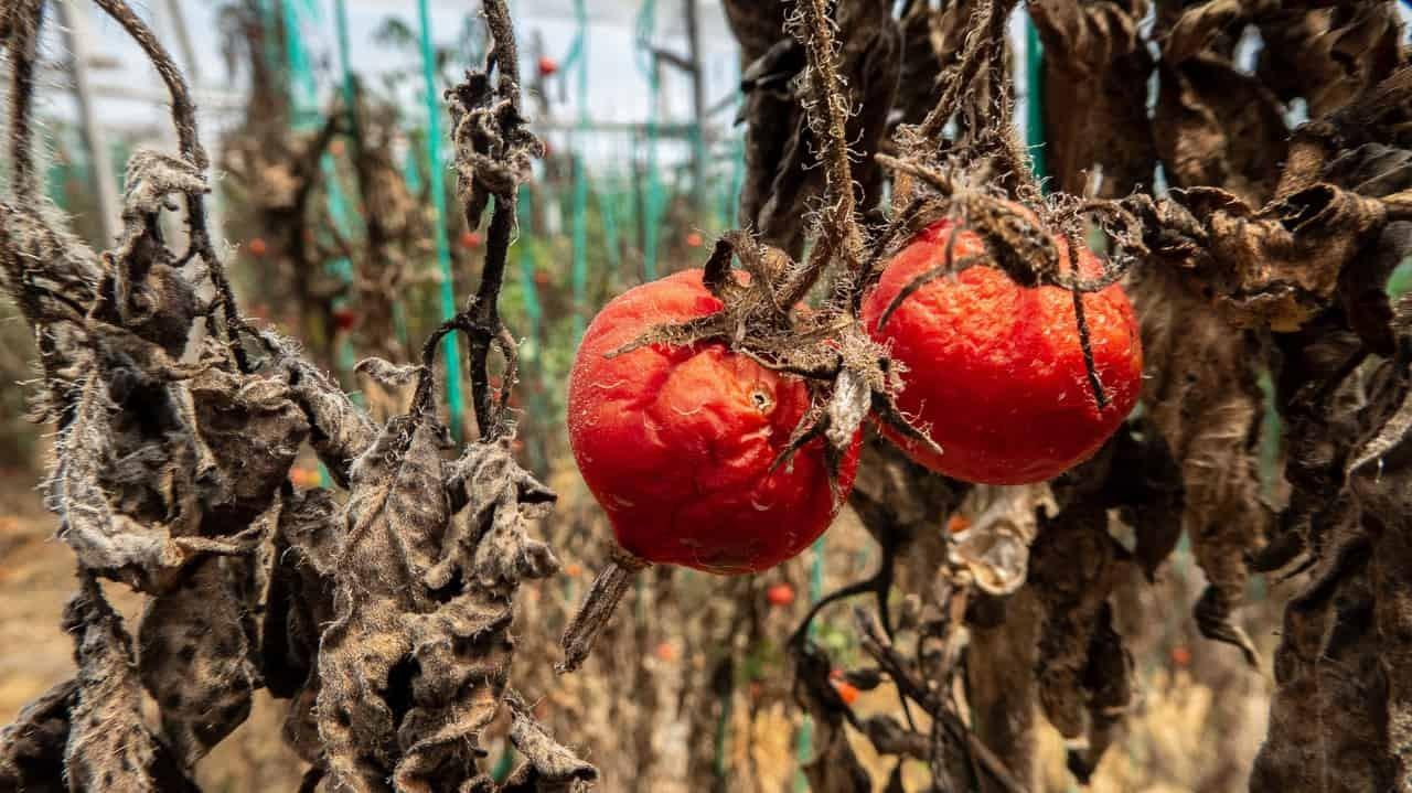 A few tomato fruits left unharvested due to poor quality. Baños, Ecuador