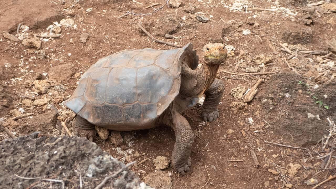 A Giant Tortoise of the Galapagos Islands, Ecuador.