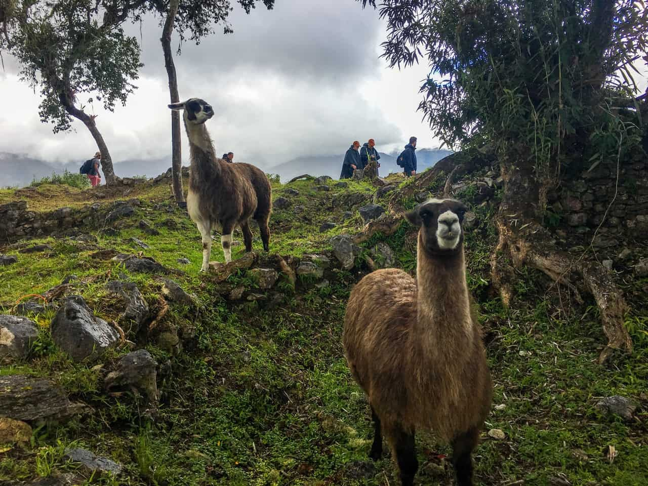 The llamas that abound in the ancient citadel seem to also enjoy the views. Kuelap, Peru.
