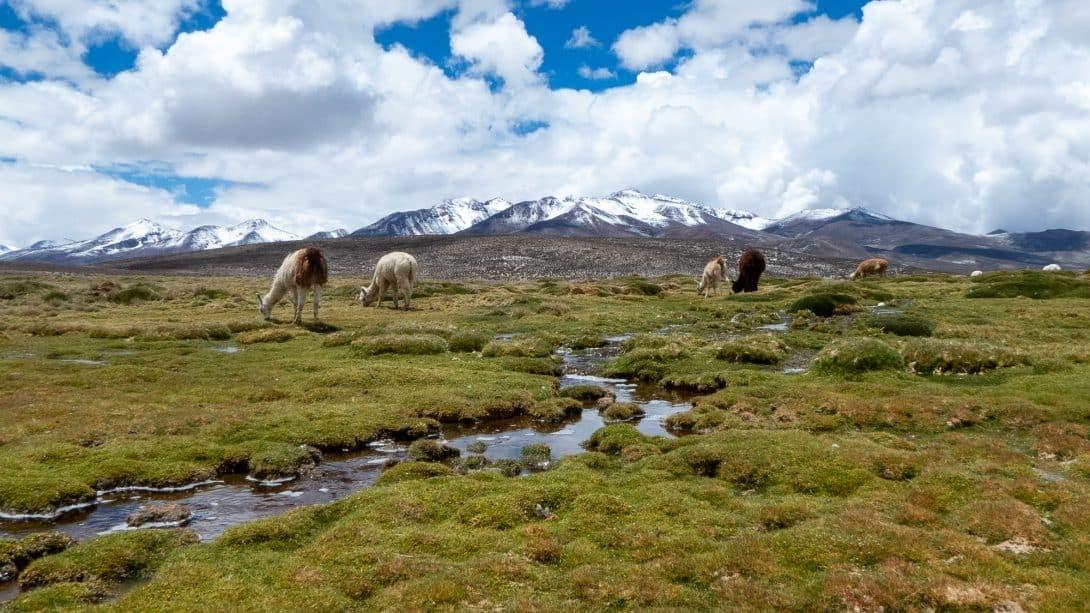 Llamas grazing at Salinas Salt Lagoon