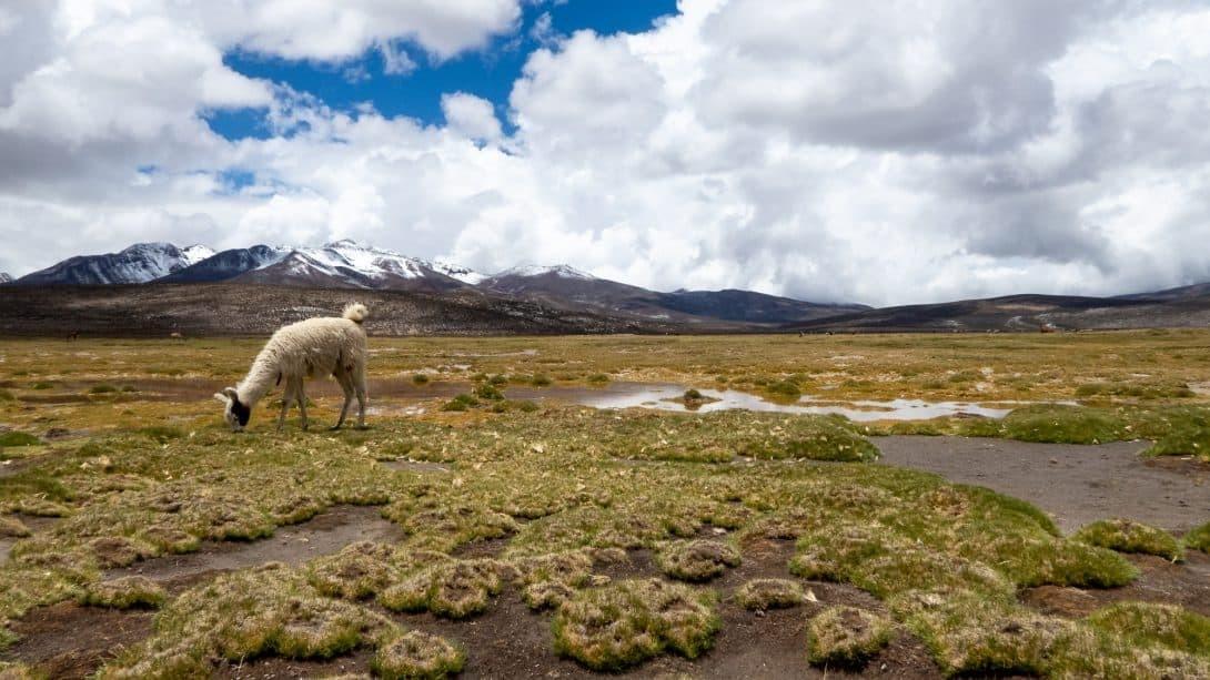 Llama at the Salinas Salt Lagoon