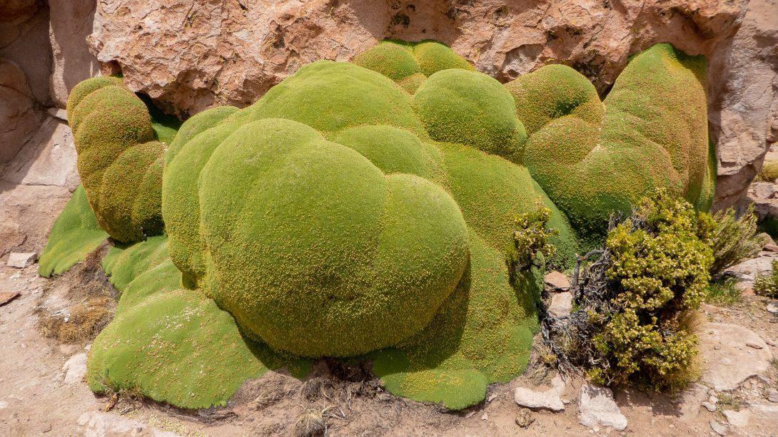 Medicinal Plant Near Uyuni, Bolivia