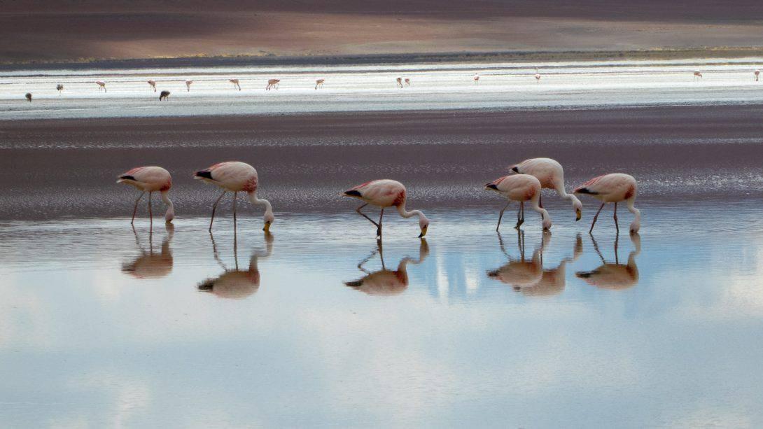 Flamingos at Eduardo Avaroa National Reserve.