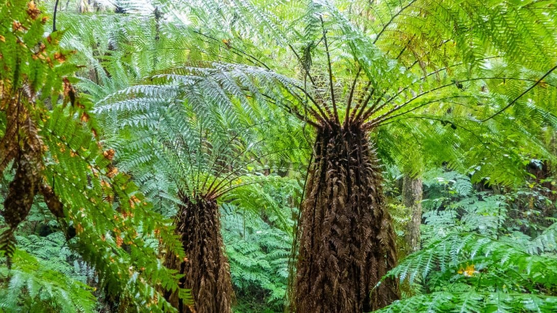 Giant ferns at Amboro National Park, near Samaipata