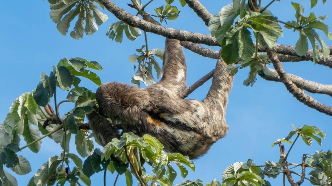 Sloth in Santa Cruz