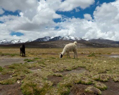 Llamas roaming free