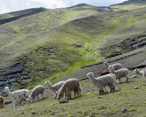 Alpacas on mountainside