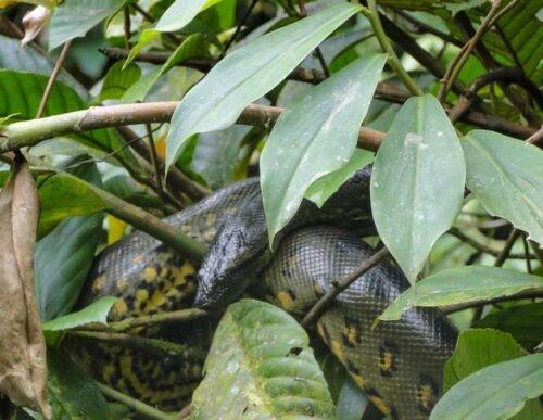Anaconda at Cuyabeno