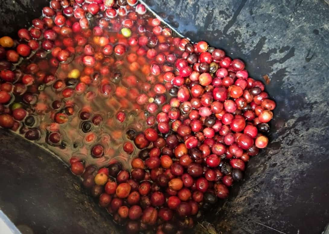 Coffee cherries in Colombia
