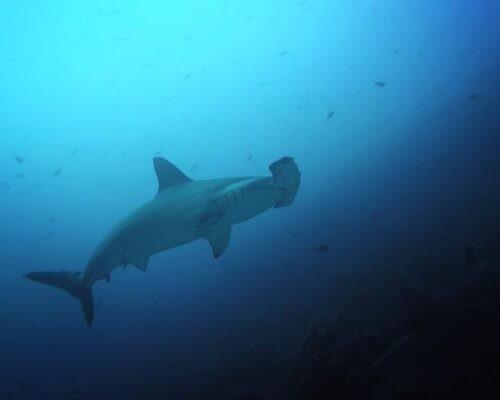 Hammerhead shark in Galapagos sea