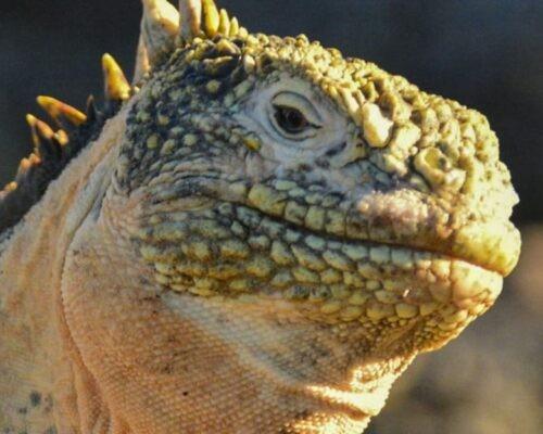 Land iguana on Galapagos