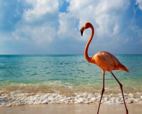 Flamingo on Isabela island, Galapagos