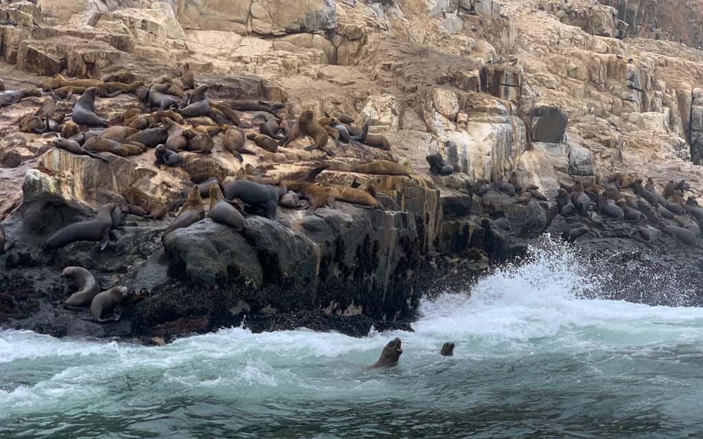 Wild sea lions in Peruvian waters.