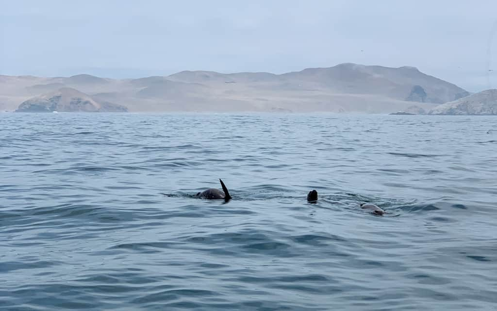 Sea lions playing in water