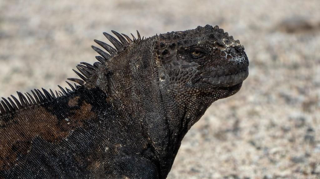 Marine Iguana Close Up