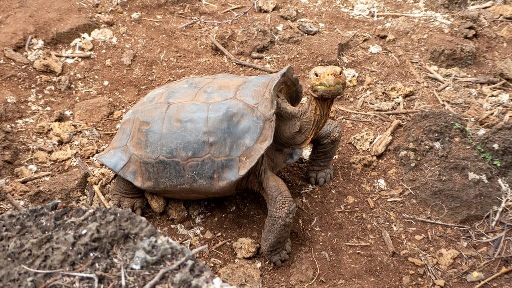 Saddleback Tortoise, Galapagos