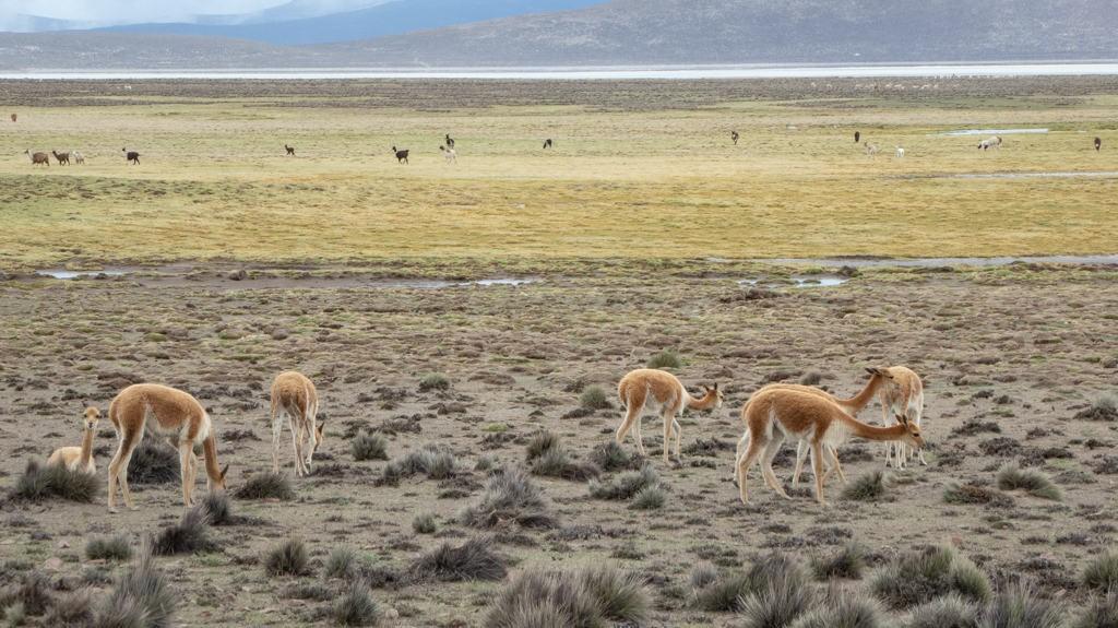 Vicuna and Alpaca