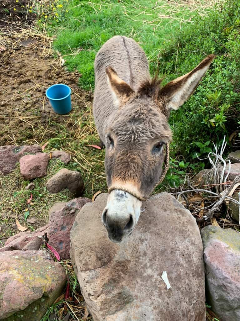 Donkey in Peruvian garden.