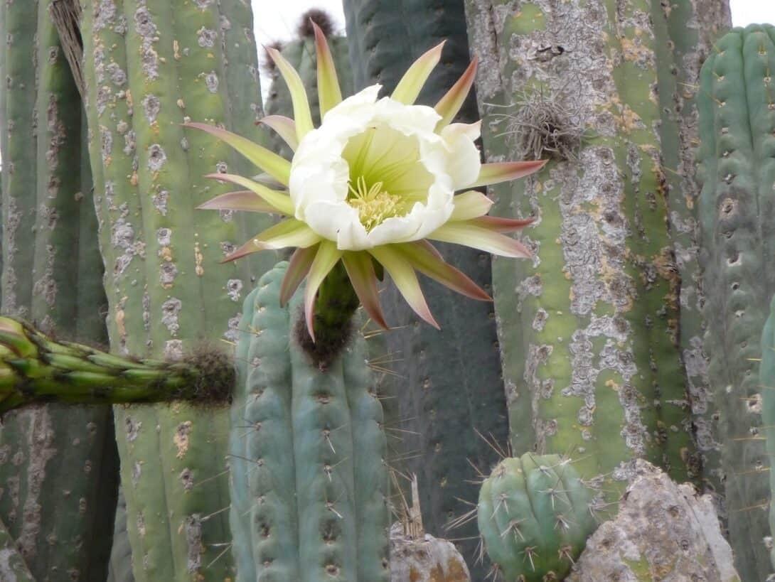 San Pedro In Bloom