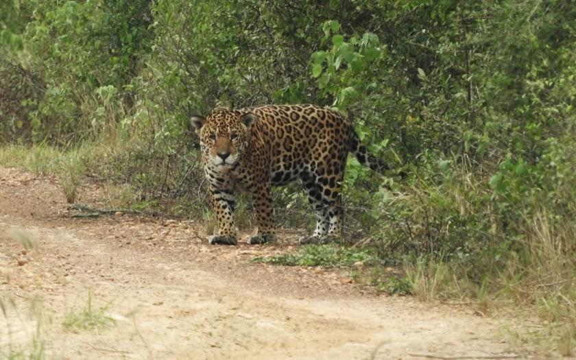 Jaguar at Kaa-lya of the Gran Chaco National Park