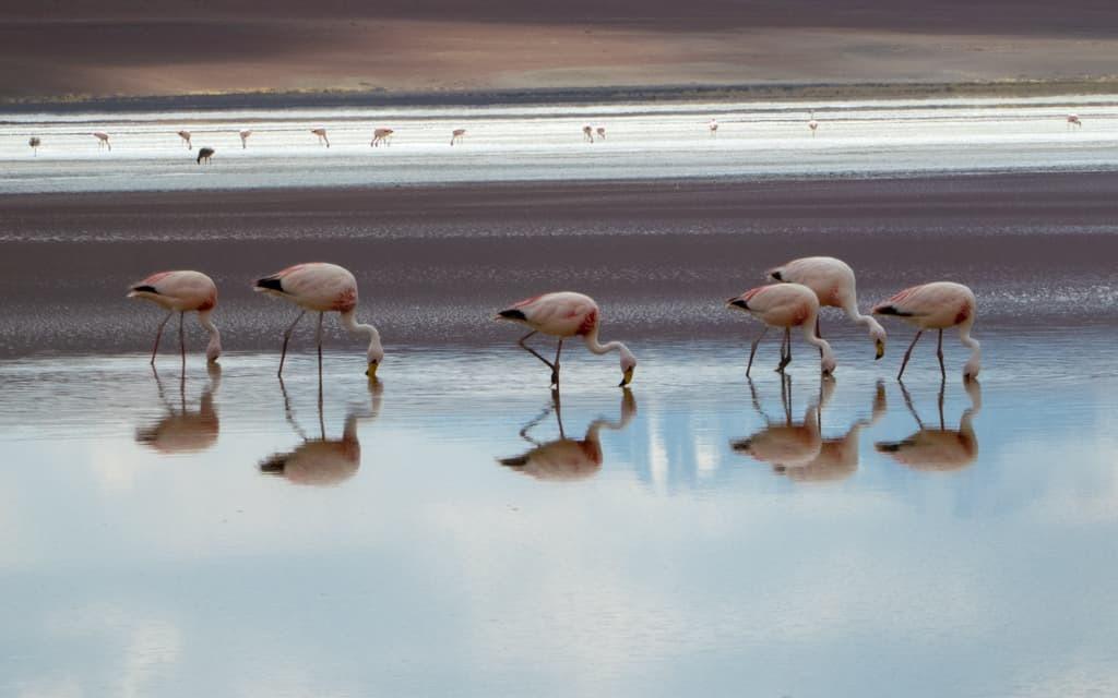 Flamingos at Eduardo Avaroa Andean Fauna National Park, Bolivia