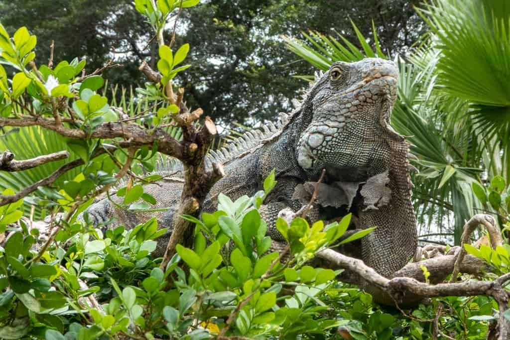 Iguana in Guayaquil